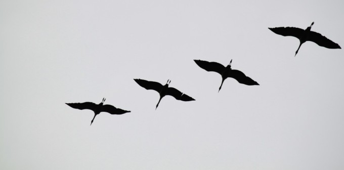 cranes_flock_of_birds_migratory_birds_birds_animal_flying_formation_animal_world_natural_spectacle-923067.jpg!d